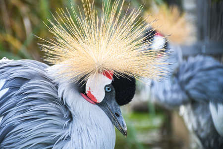 Head shot of a grey crowned crane with a big beautiful shiny crest