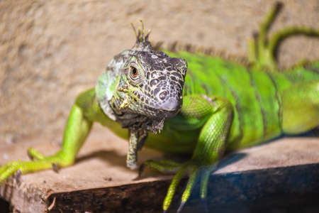 Green iguana lizard in captivity inside zoo waiting for food on a wooden deck