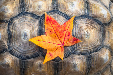 Vibrant yellow and red autumn colored leaf on a turtle shell background