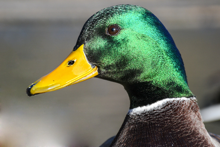 Male mallard duck on a wooden pier head portrait shot on a sunny day with nice shiny green feather head and yellow bill Imagens