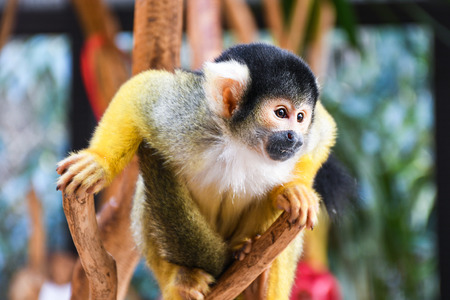 Small young black head squirrel monkey on a tree brunch inside a zoo cage