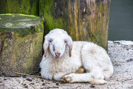Young cute small baby snow white sheep resting on the sandy floor close to the tree trunk