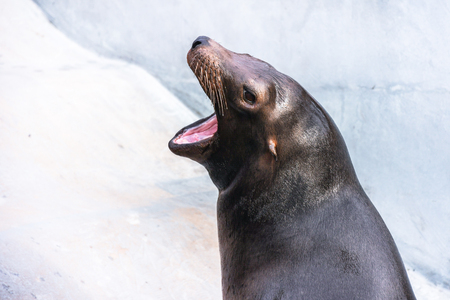 Adorable hungry sea lion seal with opened mouth and smooth wet skin head shoot inside zoo waiting for fishes