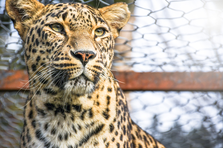 Sad trapped leopard wild cat locked inside a zoo cage looking out for freedom face portrait shoot Imagens