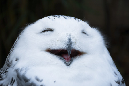 Happy smiling white and wild snowy Owl, yawning with closed eyes in the morning, close up head shot