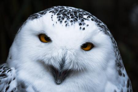 Wise looking white snowy Owl with big orange eyes portrait, black background, close up head shot Imagens