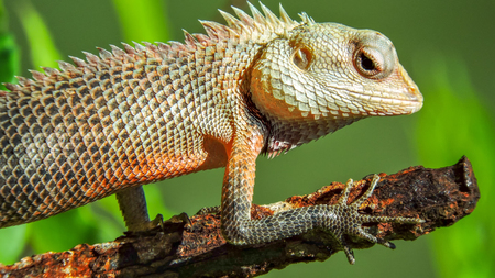 Exotic colorful lizard with sharp spikes standing on an old rusty metal stick hunting for food with natural green background Imagens