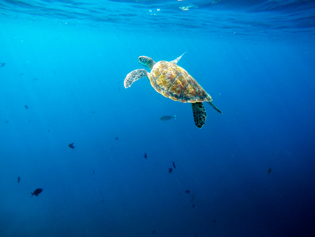Big old green sea turtle peacefully swimming and diving near the island coral reef in the warm exotic tropical ocean waters of Maldives