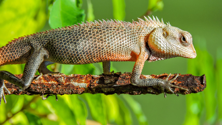 Exotic colorful lizard with sharp spikes standing on an old rusty metal stick hunting for food with natural green background Stock Photo