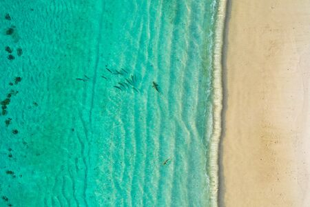 Aerial top down view of black tip sharks together in symbiosis with blue tuna swimming and hunting for a small fish in the early morning Stock Photo