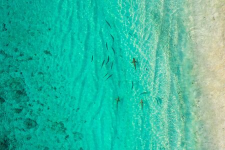 Aerial top down view of black tip sharks together in symbiosis with blue tuna swimming and hunting for a small fish in the early morning