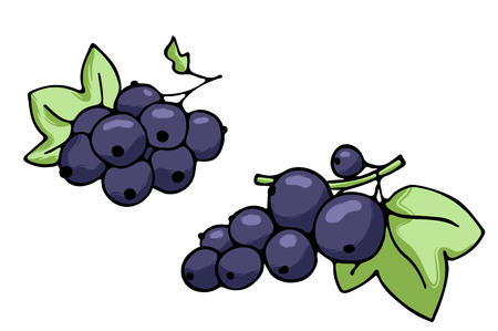 Vector illustration of juicy isolated outline colorful berry - black currant.