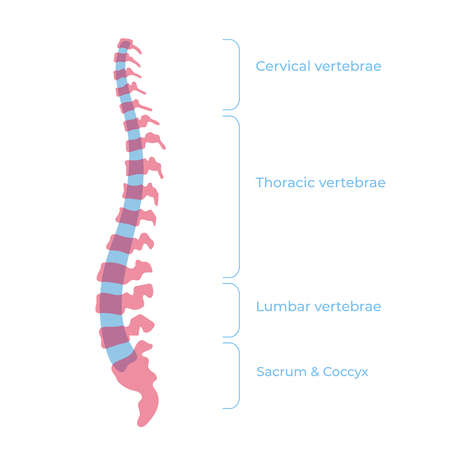 Vector human spine structure isolated silhouette illustration poster with cervical, thoracic, lumbar, sacrum, coccyx vertebrae. Medical icon element. Vertebra icon symbol design. Concept of scoliosis Vectores