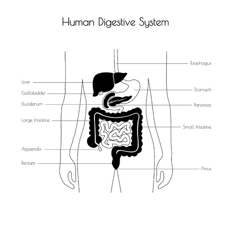 Vector isolated illustration of human digestive system anatomy. Esophagus, stomach, duodenum, pancreas, intestine, gallbladder, liver icon. Medical information poster. Internal organ symbol design.