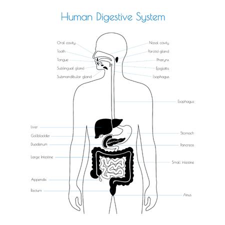 Vector isolated illustration of human digestive system anatomy. Esophagus, stomach, duodenum, pancreas, intestine, gallbladder, liver, pharynx icon. Medical information poster. Internal organ symbol.