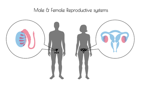 Vector isolated illustration of reproductive system in woman and man silhouette. Isolated black uterus, cervix, ovary, fallopian tube, testis, scrotum, vessels icon in body. Illustration