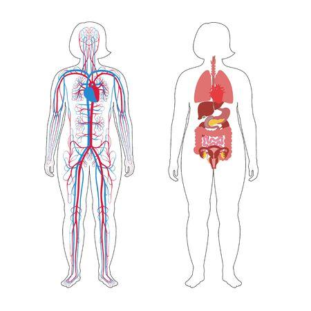 Vektor isolierte Darstellung der menschlichen inneren Organe und des Kreislaufsystems im übergewichtigen weiblichen Körper. Magen, Leber, Blase, Lunge, Niere, Herz, Symbol. Medizinisches Poster