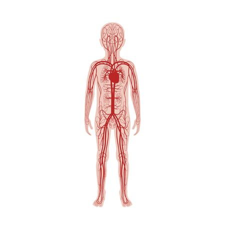 Vector isolated illustration of human arterial and venous circulatory system anatomy in boy silhouette. Blood vessels diagram. Medical infographics for poster, educational, science and medical use.