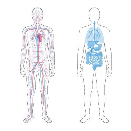 Vector geïsoleerde illustratie van menselijke interne organen en bloedsomloop in het lichaam van de mens. Maag, lever, blaas, long, nier, hart, icoon. Medische poster Vector Illustratie