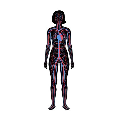 Vector isolated illustration of human arterial and venous circulatory system anatomy in woman silhouette. Blood vessels diagram. Medical infographics for poster, educational, science and medical use.