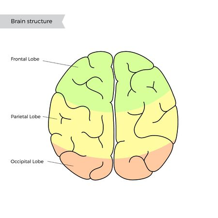 Vector isolated illustration of human brain anatomy. Occipital, frontal, parietal and temporal lobe. Medical infographics for poster, educational, science and medical use, Biological icon or logo.