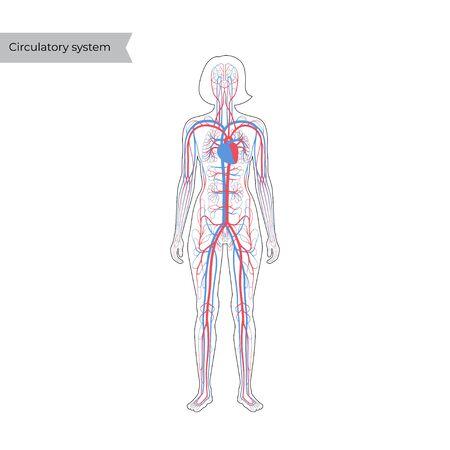 Illustrazione vettoriale isolata dell'anatomia del sistema circolatorio arterioso e venoso umano in silhouette di donna. Diagramma dei vasi sanguigni. Infografica medica per uso poster, educativo, scientifico e medico.