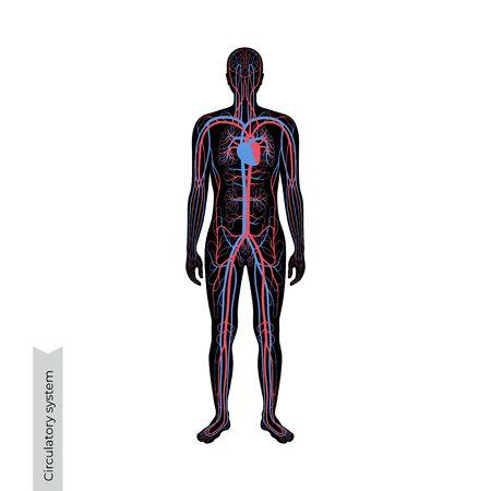 Illustrazione vettoriale isolata dell'anatomia del sistema circolatorio arterioso e venoso umano nella siluetta dell'uomo. Diagramma dei vasi sanguigni. Infografica medica per uso poster, educativo, scientifico e medico.