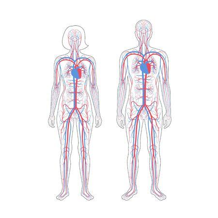 Illustrazione vettoriale isolata dell'anatomia del sistema circolatorio arterioso e venoso umano in silhouette uomo e donna. Diagramma dei vasi sanguigni. Infografica medica per uso educativo, scientifico e medico.