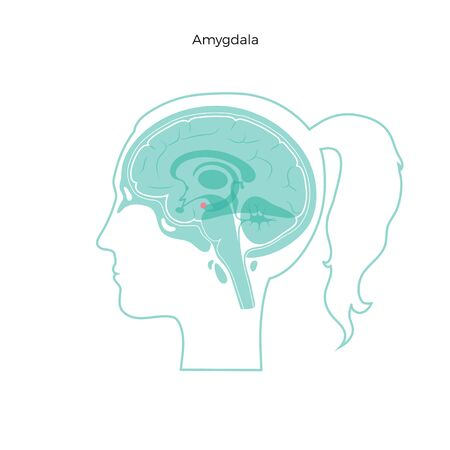 Isolierte Vektorgrafik von Amygdala im Frauenkopf. Detaillierte Anatomie der menschlichen Gehirnkomponenten. Medizinische Infografiken für Poster, Bildung, Wissenschaft und medizinische Zwecke. Sagittale Ansicht des Gehirns