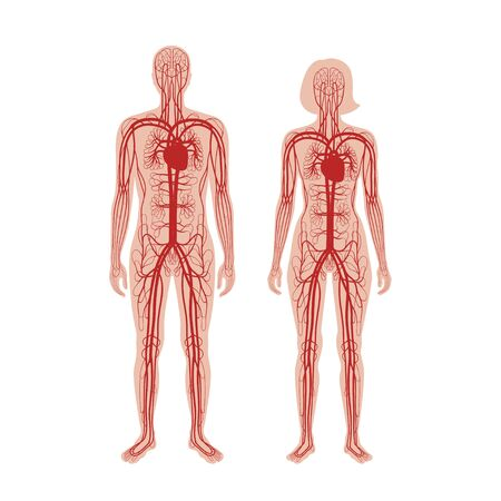 Vector isolated illustration of human arterial and venous circulatory system anatomy in man and woman silhouette. Blood vessels diagram. Medical infographics for educational, science and medical use.