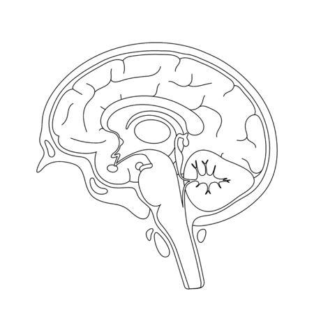 Vector ilustración aislada de componentes del cerebro humano detallada anatomía. Infografía médica para carteles, educación, ciencia y uso médico. Vista sagital del cerebro Ilustración de vector