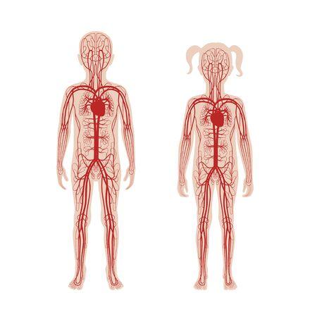 Illustration vectorielle isolée de l'anatomie du système circulatoire artériel et veineux humain en silhouette garçon et fille. Diagramme des vaisseaux sanguins. Infographie médicale pour l'affichage, l'éducation, la science et l'usage médical.
