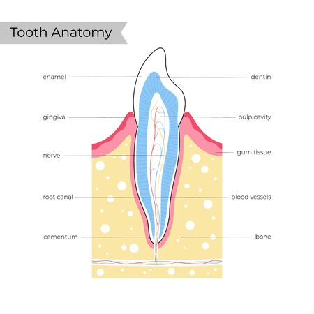 Vector isolated illustration of human tooth in gum anatomy infographics. Medical banner or poster illustration. Ilustracja