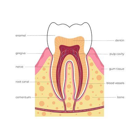 Illustration vectorielle isolée de la dent humaine dans l'infographie de l'anatomie des gencives. Bannière médicale ou illustration d'affiche. Coupe transversale de la dent humaine avec infographie et description. Vecteurs
