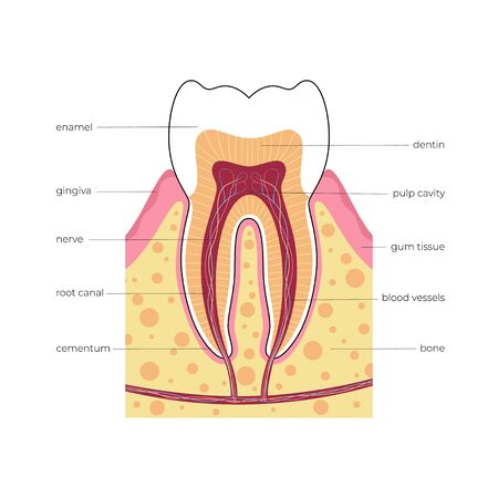 Vector isolated illustration of human tooth in gum anatomy infographics. Medical banner or poster illustration. Cross section of human tooth with infographics and description. Vektorové ilustrace