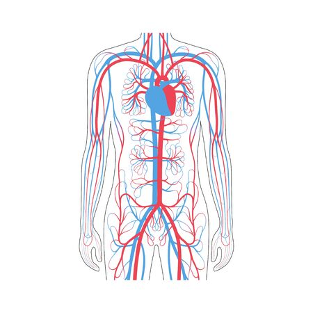 Vector isolated illustration of human arterial and venous circulatory system in chest anatomy. Blood vessels diagram. Medical infographics for poster, educational, science and medical use.