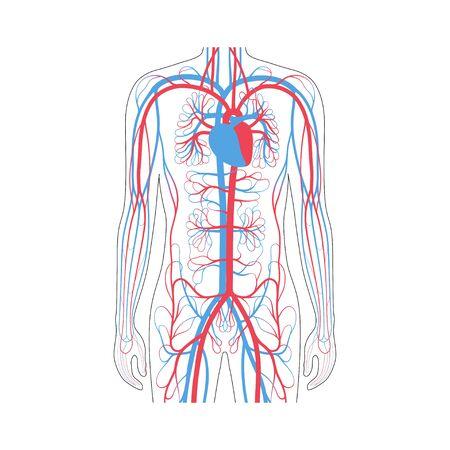 Vektor isolierte Darstellung des menschlichen arteriellen und venösen Kreislaufsystems in der Brustanatomie. Diagramm der Blutgefäße. Medizinische Infografiken für Poster, Bildung, Wissenschaft und medizinische Zwecke.