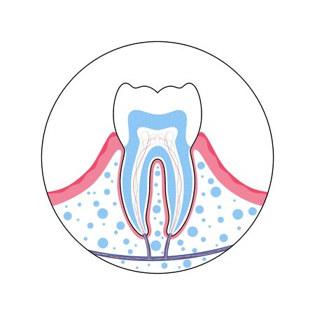 Vector isolated illustration of human tooth in gum anatomy infographics. Medical banner or poster illustration. Stock Illustratie