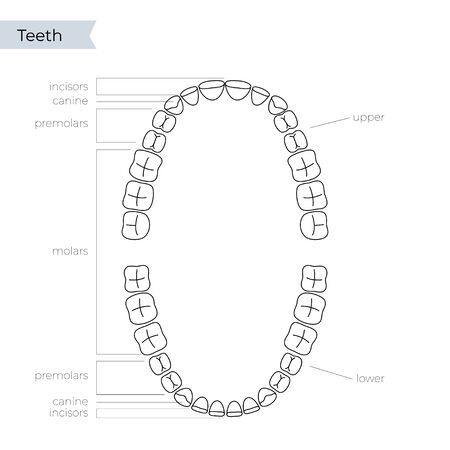 Vector isolated illustration of an upper and lower human jaw with molars, incisors, canine, premolars. Permanent teeth dentition anatomy. Medical banner or poster illustration. Tooth icon. Vectores