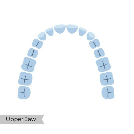 Vector isolated illustration of an upper  human jaw with molars, incisors, canine, premolars. Permanent teeth dentition anatomy. Medical banner or poster illustration. Tooth icon.