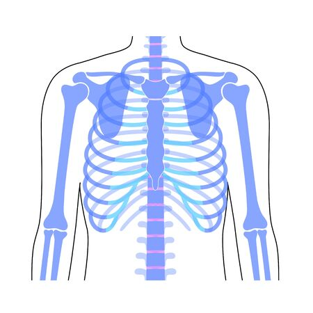 Human rib cage anatomy flat vector illustration. Man torso skeletal system. Anatomically correct chest ribcage isolated on white background. Medical, educational and science banner Vektorgrafik