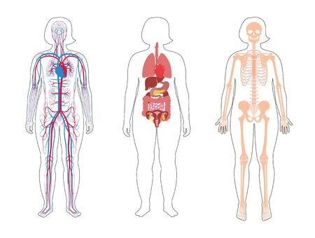 Fat woman skeleton, internal organs, circulatory system anatomy. Anatomical structure of human body front view. Vector flat illustration of skull, bones, blood vessels in body. Medical  banner