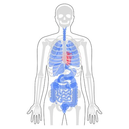 Human man skeleton and internal organs anatomy front view. Vector flat illustration of skull and bones, abdominal organs. isolated on white. Medical, educational or science banner
