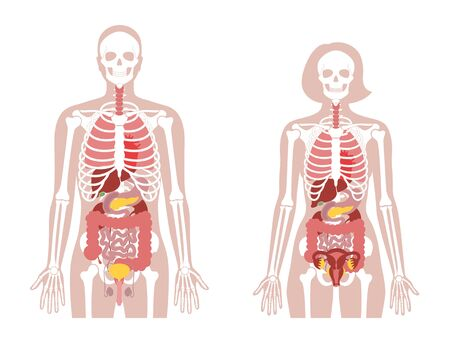 Human woman and man skeleton and internal organs anatomy front view. Vector flat illustration of skull and bones, abdominal organs. isolated on white. Medical, educational or science banner
