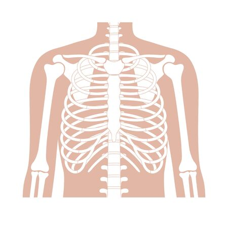 Human rib cage anatomy flat vector illustration. Man torso skeletal system. Anatomically correct chest ribcage isolated on white background. Medical, educational and science banner 矢量图像