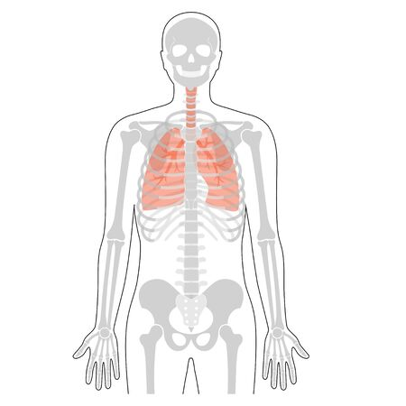 Human rib cage with lungs anatomy flat vector illustration. Man torso skeletal system. Anatomically correct chest ribcage isolated on white background. Medical, educational and science banner