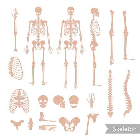 Anatomie du squelette de l'homme humain devant, de profil et de dos. Vector illustration plate isolée du crâne et des os. Bannière Halloween, médicale, éducative ou scientifique Vecteurs
