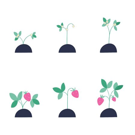 A set of strawberry seedlings during flowering and during ripening. Flat vector illustration on white background. Gardening and healthy food concept for poster, banner