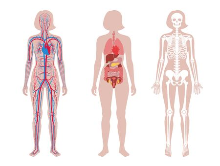 Woman skeleton, internal organs, circulatory system anatomy. Anatomical structure of human body front view. Vector isolated flat illustration of skull, bones, blood vessels in body. Medical  banner