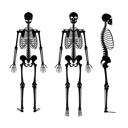 Human man skeleton anatomy in front, profile and back view. Vector isolated flat illustration of skull and bones. Halloween, medical, educational or science banner Ilustração Vetorial
